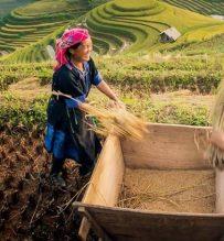 sapa rice harvesting