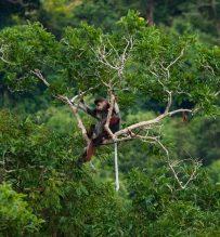 Langurs in Son Tra peninsula
