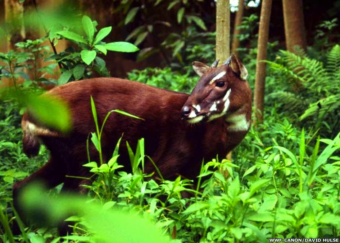 Saola in Pu Mat national park